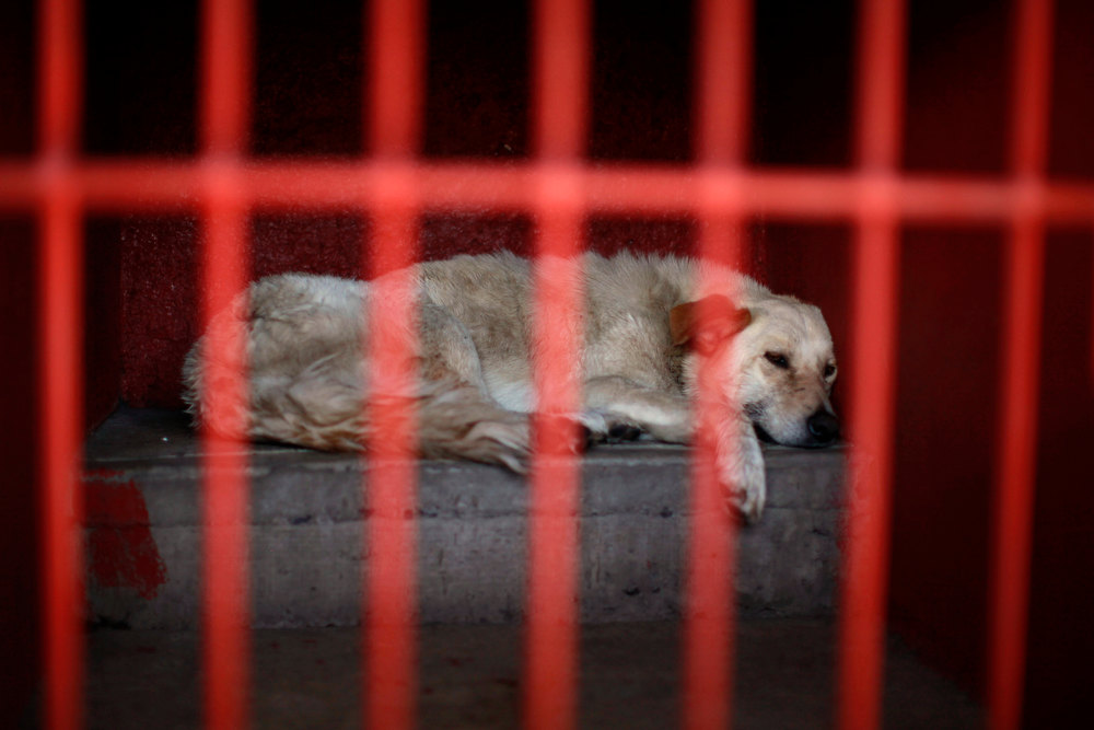 Description of . One of the dogs that was caught near the site of four fatal maulings rests inside a cage at a city dog pound in Mexico City, Wednesday, Jan. 9, 2013. Authorities have captured dozens of dogs near the scene of the attacks in the capital's poor Iztapalapa district, but rather than calm residents, photos of the forlorn dogs brought a wave of sympathy for the animals, doubts about their involvement in the killings and debate about government handling of the stray dog problem. (AP Photo/Dario Lopez-Mills)