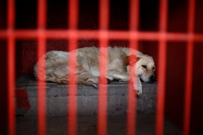 . One of the dogs that was caught near the site of four fatal maulings rests inside a cage at a city dog pound in Mexico City, Wednesday, Jan. 9, 2013. Authorities have captured dozens of dogs near the scene of the attacks in the capital\'s poor Iztapalapa district, but rather than calm residents, photos of the forlorn dogs brought a wave of sympathy for the animals, doubts about their involvement in the killings and debate about government handling of the stray dog problem. (AP Photo/Dario Lopez-Mills)