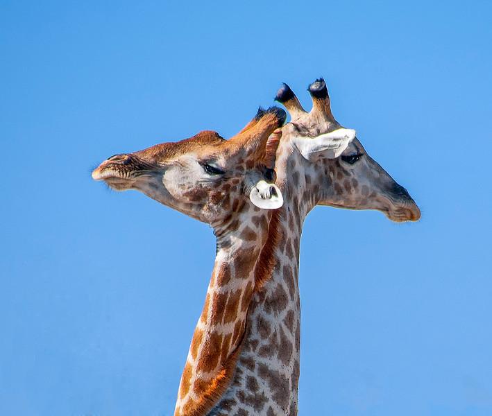 Giraffes-10.jpg