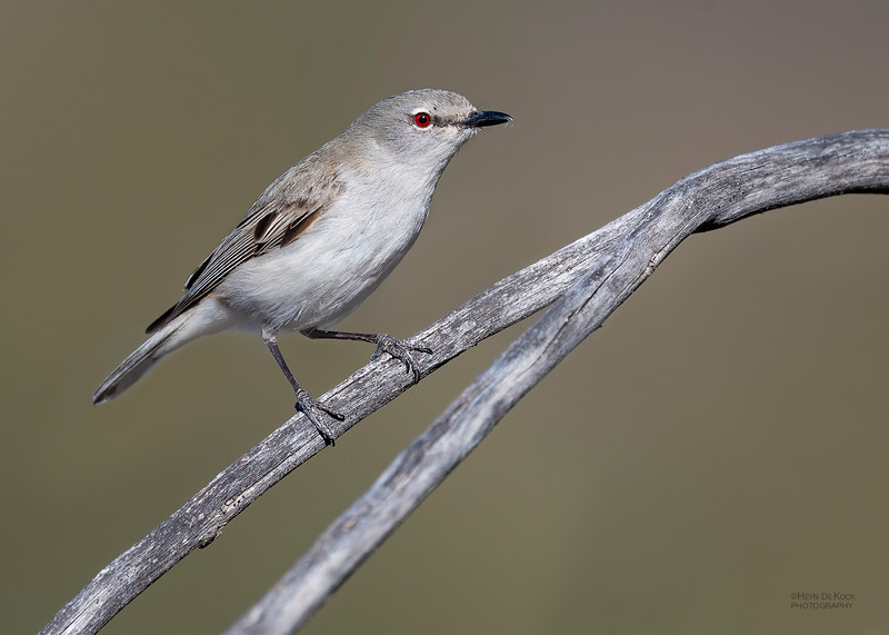 Western Gerygone, Cocoparra National Park, NSW, Oct 2018-2.jpg