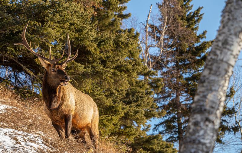 Waskesiu Elk 12-22-19.jpg