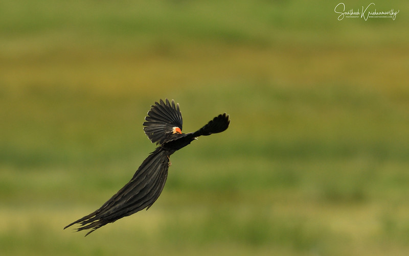 Long-tailed-widowbird-nakuru-flight-5.jpg