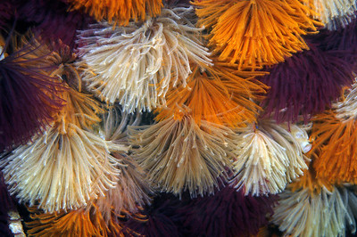 Annelida, Eastern Pacific