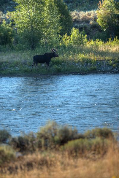 Bull Moose on the Snake River - GTNP - Wyoming