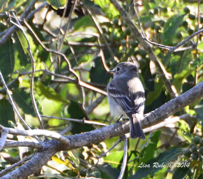 Gray Flycatcher -- 5/4/2014 - Point Loma Nazarene College