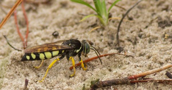 Crabronidae Wasps (Crabronidae)