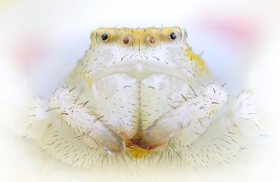 Портрет паука бокохода