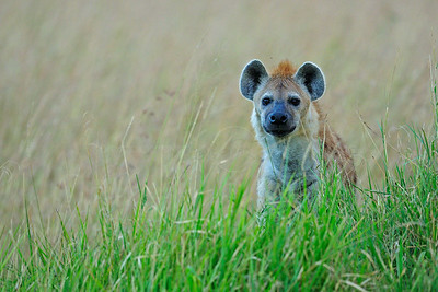 """Spotted hyena in Masai Mara"""