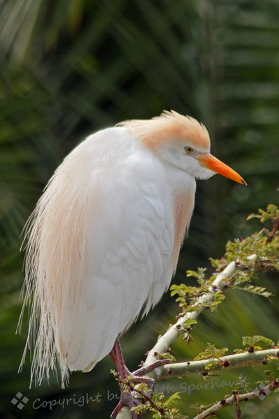 Cattle Egret Perching ~ This egret was photographed in the San Diego area.