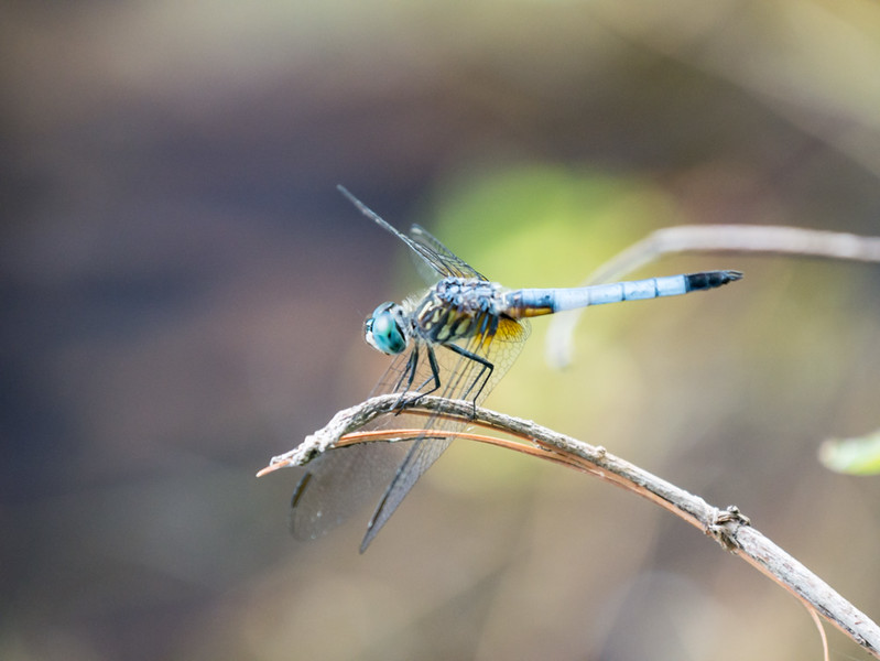 Blue Dasher - Eastern Coloration -  Pachydiplax longipennis (M)