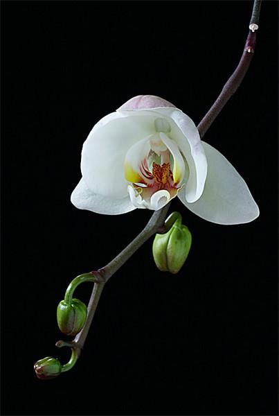 White-Orchid.jpg