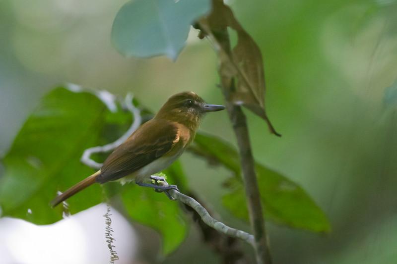 Bright-rumped Atilla - Osa, Costa Rica