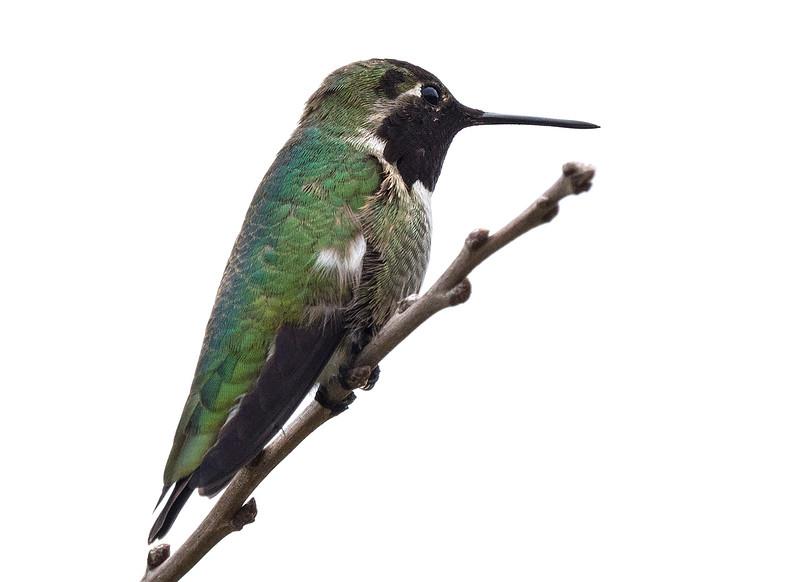 green hummingbird.jpg