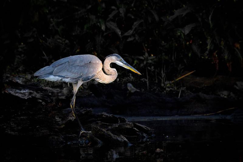 Blue Cypress Lake, Fellsmere, Florida, Great Blue Heron