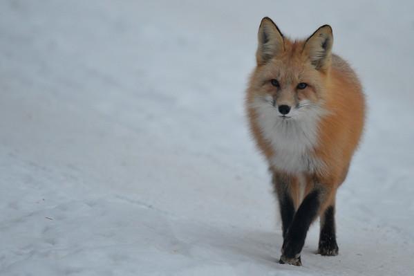 12 2012 Dec 4 Red Fox