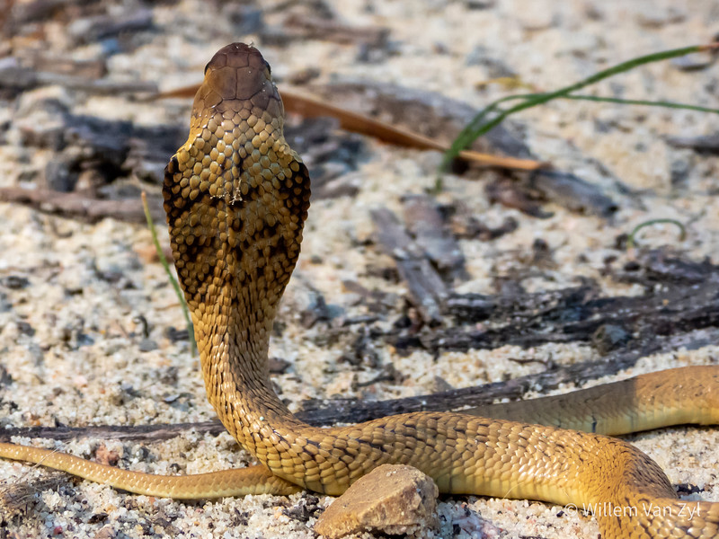 20191005 Juvenile Cape Cobra (Naja nivea) from Parklands, Western Cape