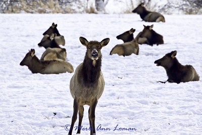 Winter elk - Dec 2010