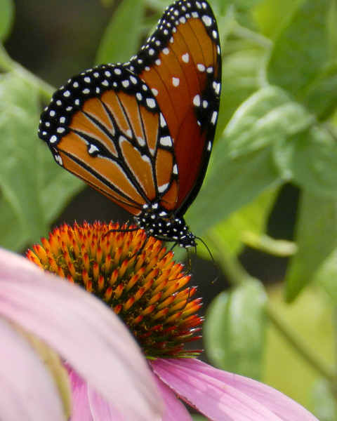 8x10 Queen on Coneflower.jpg