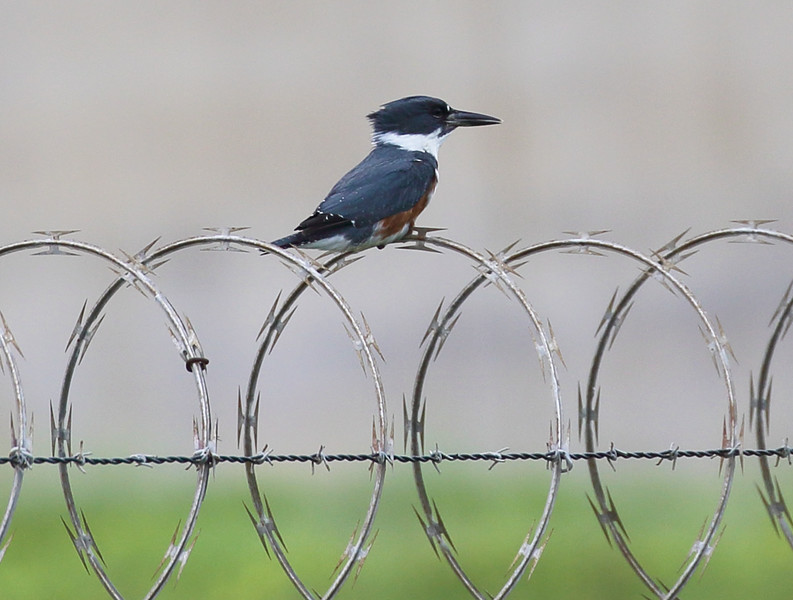 We discover a Belted Kingfisher on concertina wire.