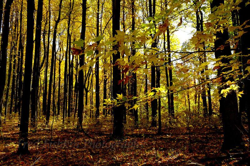 golden forest.jpg