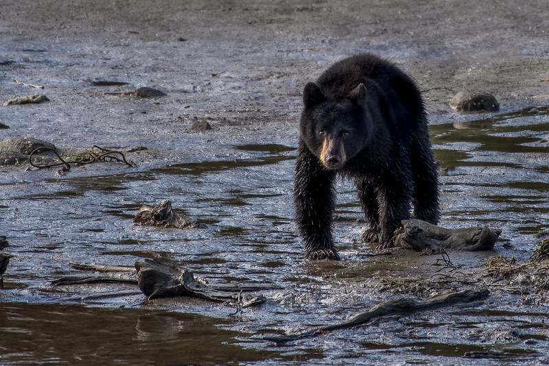 DSC 9621 black bear cub.jpg