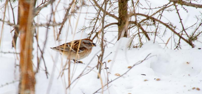 American Tree Sparrow Warren Woessner Bog Boardwalk Warren Nelson Memorial Bog Sax-Zim Bog MN IMG_0073.jpg
