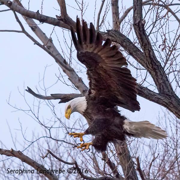 _DSC8865Seraphina Eagle has Landed.jpg