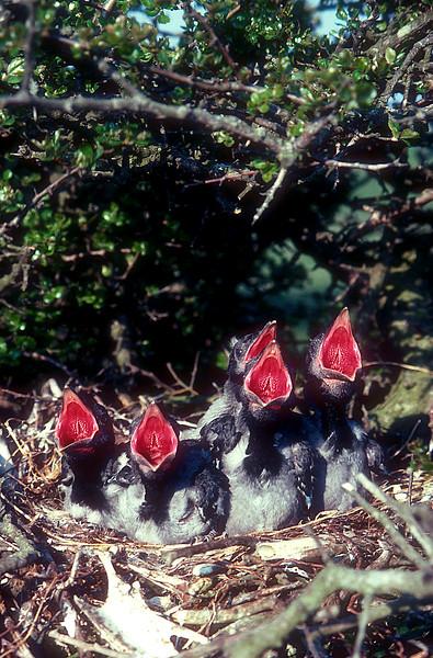 Kråkfåglar – Corvids