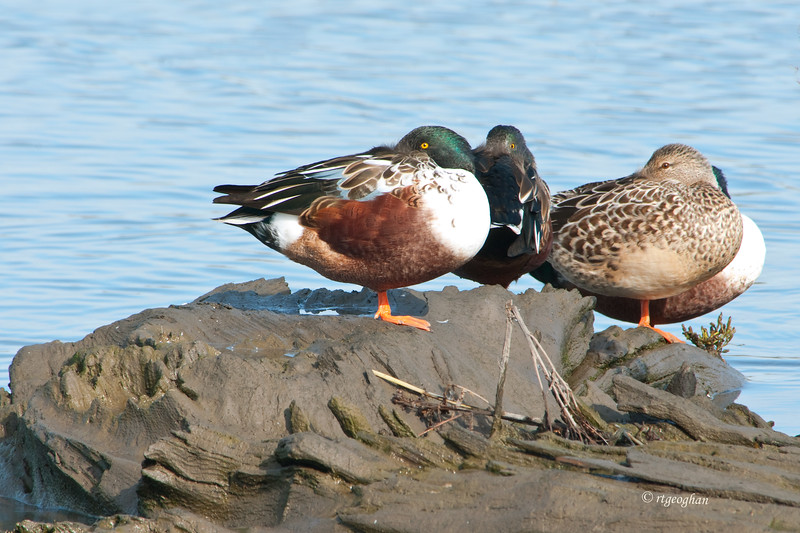 Nov 13_Northern Shovelers MCMarch_8106.jpg