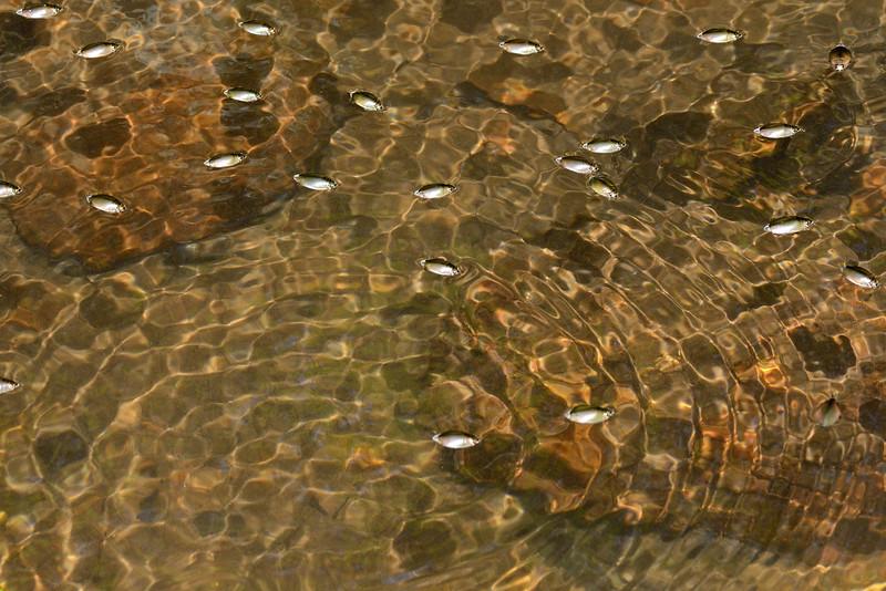 Whirligig-beetles-sound-waves.jpg