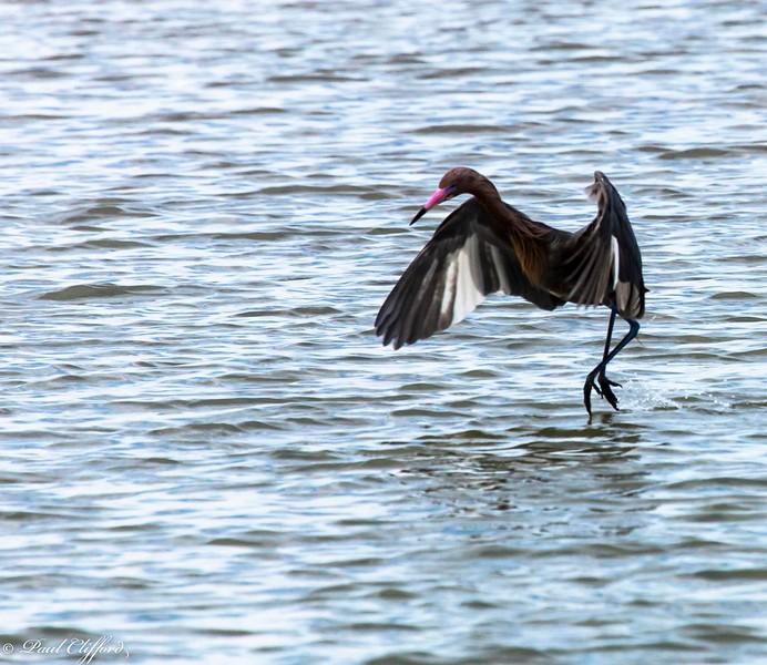 Heron in Tampa Bay 5012 C1.jpg