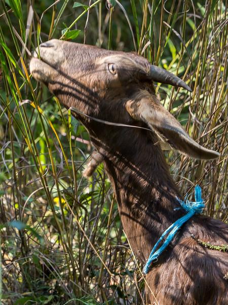 Goats-162.jpg