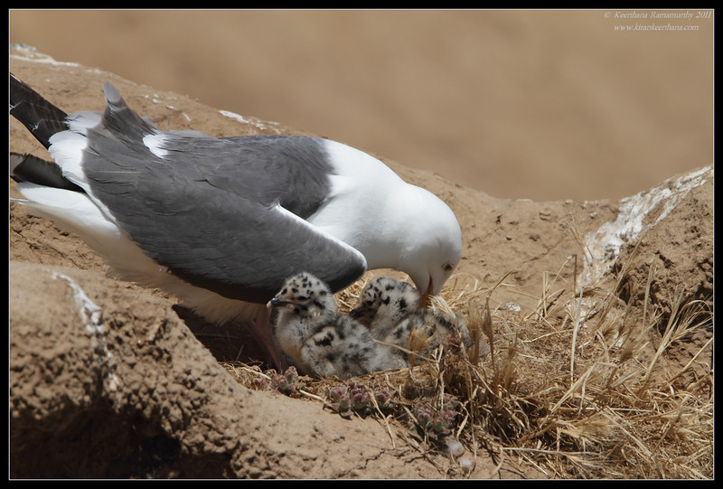 Western Gull sitting on the nest with  two chicks hatched, La Jolla Cove, San Diego County, California, June 2011