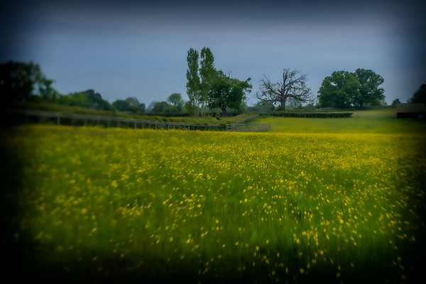The field of buttercups