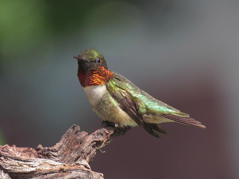 sx50_hummingbird_J44239_boas_215.jpg