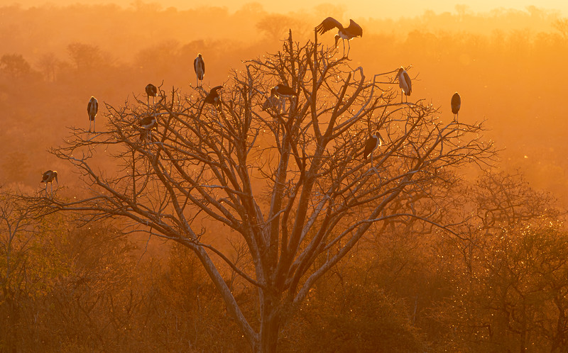 Vultures at Sunset, Victoria Falls National Park