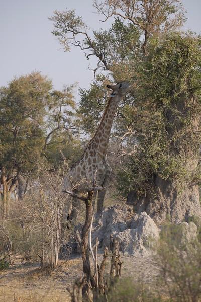 Giraffe feeding, Selinda Explorer camp, Botswana