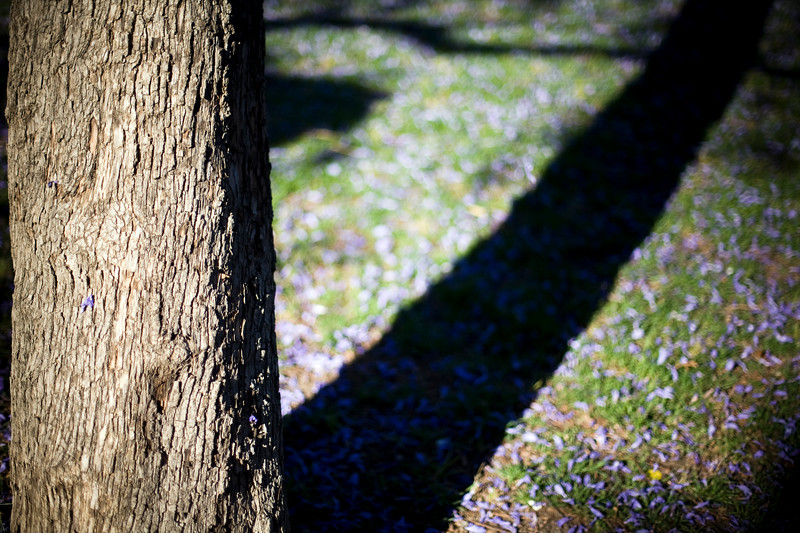 Jacaranda tree trunk and shadow, Seville, Spain