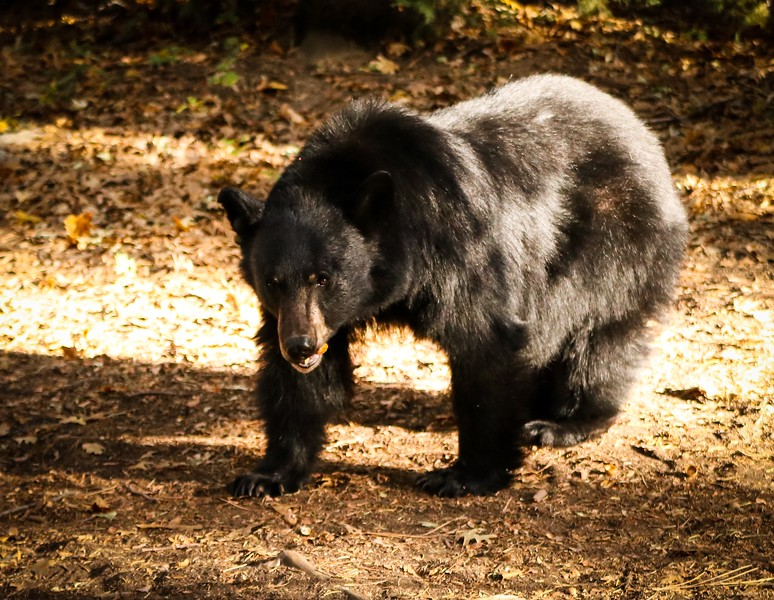 The Bear Is Eating An Acorn At Kings Canyon National Park    _-2.jpg