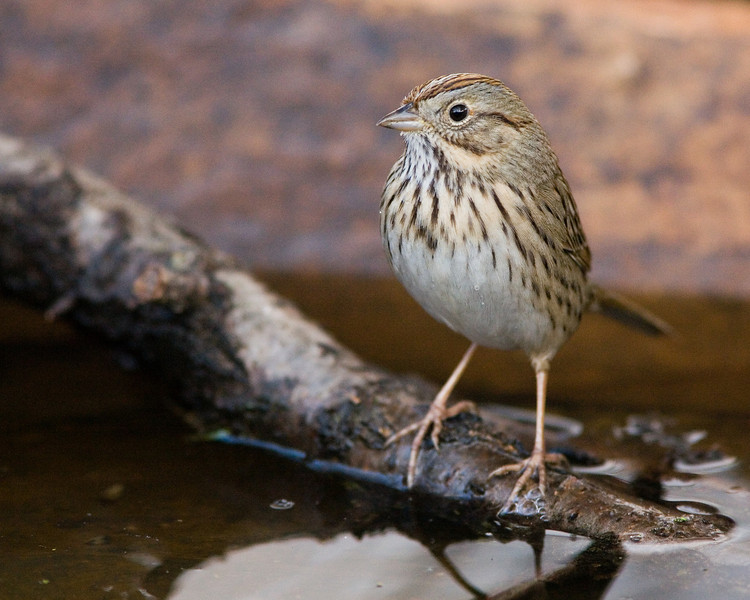 Lincoln's Sparrow I