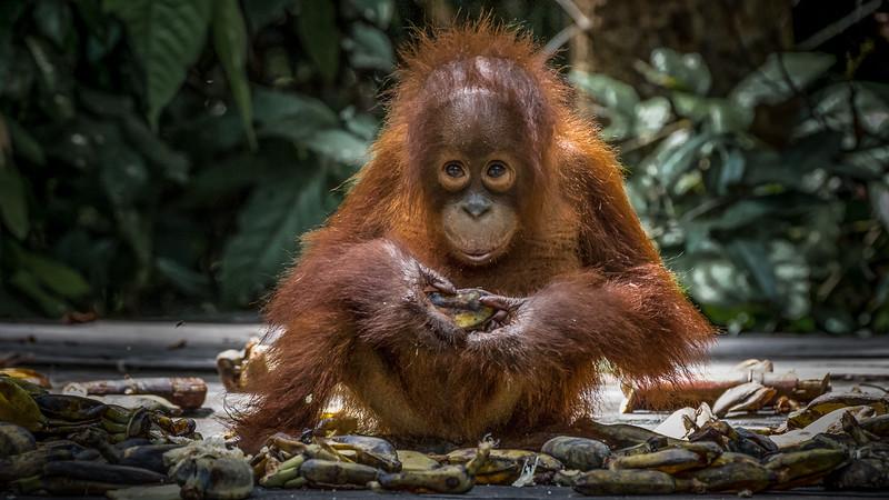 One happy Orangutan baby.