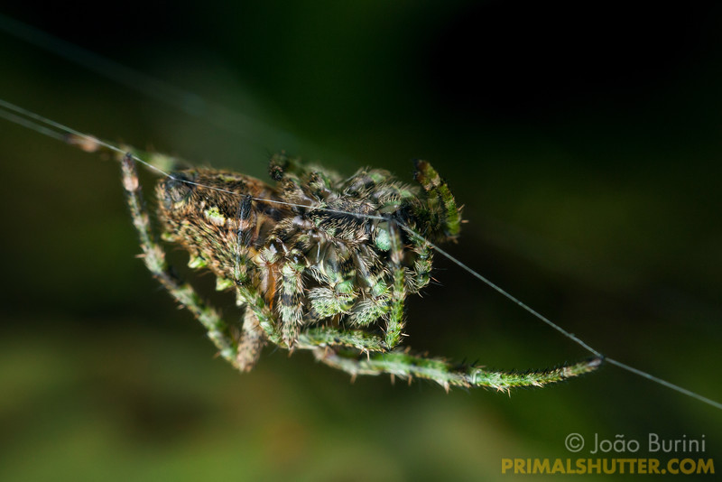 Green orb weaving spider
