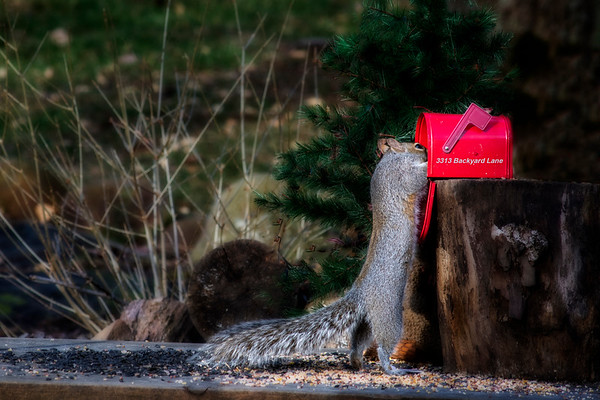 Backyard squirrels and the mailbox