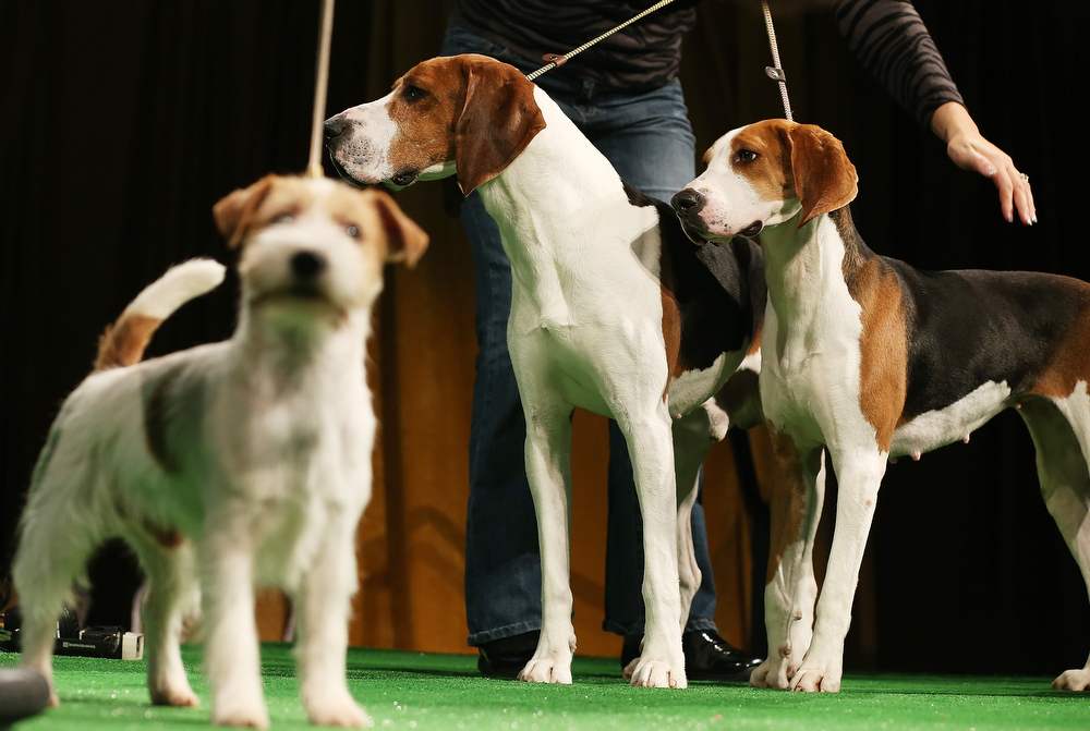 . Xcetera and Meg (R), Treeing Walker Coonhounds, stand by a Russell Terrier at a press conference kicking off the 137th Annual Westminster Kennel Club Dog Show on February 7, 2013 in New York City. This year\'s event will feature these two new breeds and will take place February 11 and 12.  (Photo by Mario Tama/Getty Images)