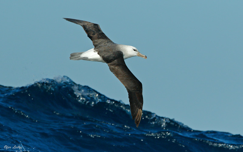 Black-browed Albatross 2 MASTER (1).jpg