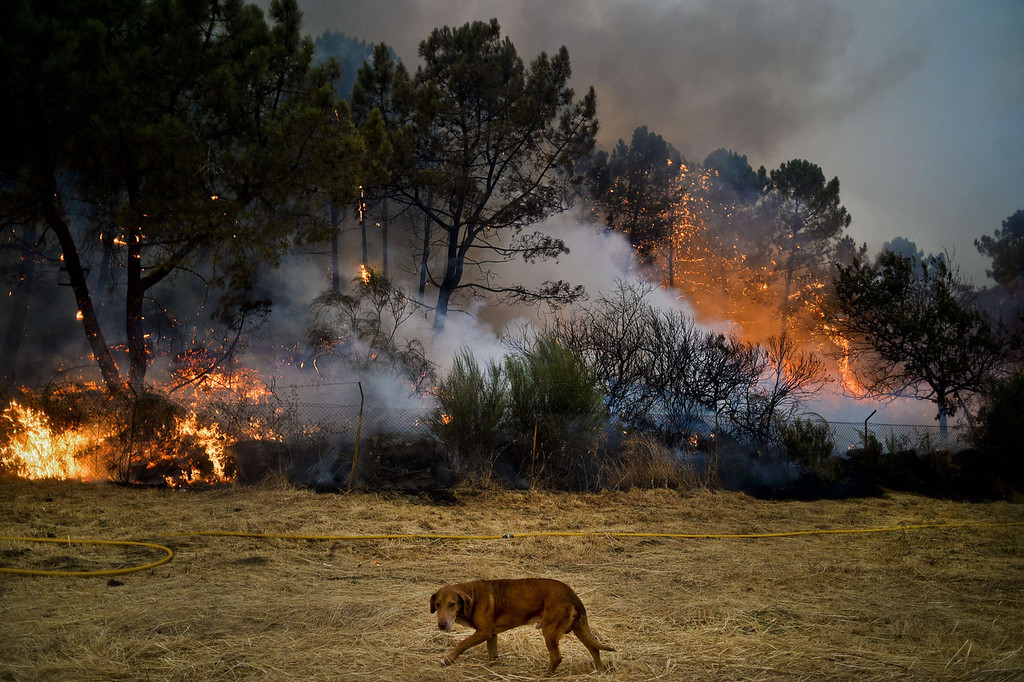 . A dog passes a wildfire in Caramulo, central Portugal on August 29, 2013. Five Portuguese mountain villages were evacuated overnight as forest fires intensified in the country\'s north and centre, officials said today. As many as 1,400 firefighters were dispatched Thursday to tackle the blaze in the mountains and another raging further north in the national park of Alvao, where 2,000 hectares (4,900 acres) of pine forest have already been destroyed, according to the local mayor.   PATRICIA DE MELO MOREIRA/AFP/Getty Images