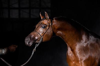 Kraskoy Arabians