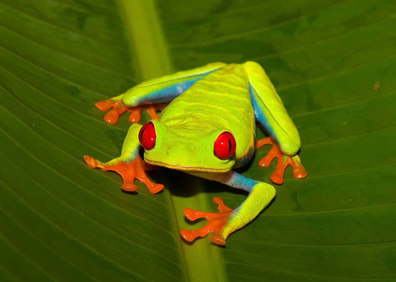 Costa Rica_Frogs-3.jpg