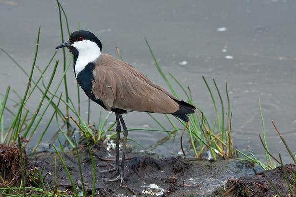 Shorebirds and Allies