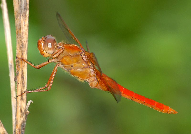 Libellula croceipennis (Neon Skimmer), TMPS, Mexico - male